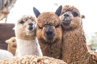 Three alpacas gather courage in numbers to investigate a foreigner to Big Hat Ranch in McCoy. Alpacas are incredibly social creatures and live harmoniously in large groups.