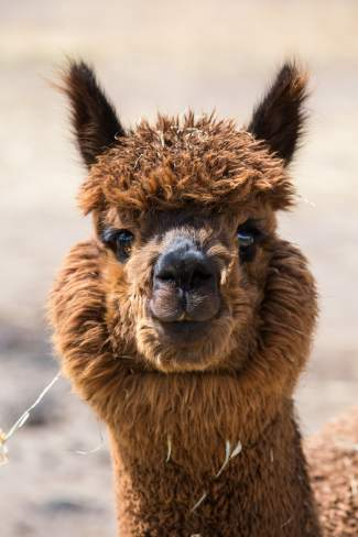 An alpaca at Big Hat Ranch,Painted Sky Rapscallion, stops a busy frollicking, sleeping, and eating schedule to study the newcomers in Mccoy on May 20.