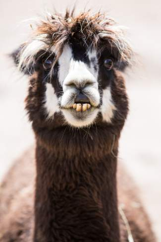 Bittersweet, an alpaca at Big Hat Ranch, shows off her permanent smile in Mccoy on May 20.
