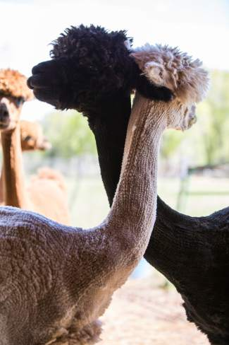 Over-the-line and Miss Moonlit, alpacas at Big Hat Ranch, embrace on a warm May day in Mccoy.