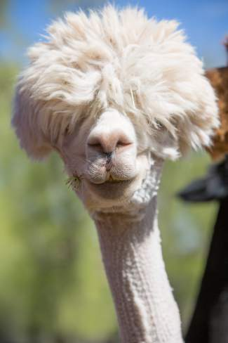 Over-the-line, a fashion forward alpaca at Big Hat Ranch, stands for a portrait shortly after snacking on some clovers in Mccoy on May 20.