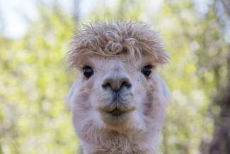 Pie, a curious and friendly alpaca at Big Hat Ranch in Mccoy, prepares to say hello on May 20.