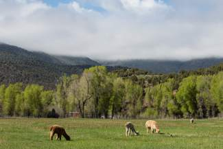 Alpacas graze on open pasture at Big Hat Ranch in Mccoy on May 20.