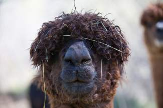 An alpaca named Rhiannon, who happens to be Stivinix's mom, is under the impression that an inability to see is equal to not being seen at Big Hat Ranch in Mccoy on May 20.
