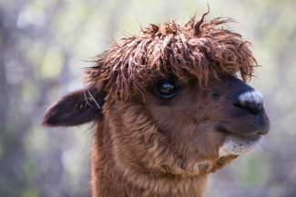 Stivinix, an Alpaca at Big Hat Ranch, sports a rock star hairdo in Mccoy on May 20.