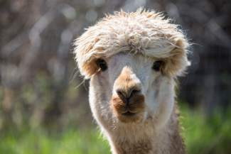 Katie's Mi Duena, a resident alpaca of Big Hat Ranch, basks in the sunshine of a warm May day in Mccoy.