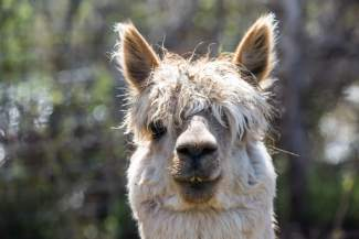 Tiara, an alpaca at Big Hat Ranch in Mccoy, stares out from behind her bangs at strangers to the Ranch on May 20.