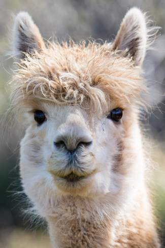 A la Mode's Peruvian Pie, an alpaca at Big Hat Ranch, could care less about a little grass stain in her beard when new faces appear in the pasture on May 20 in Mccoy.