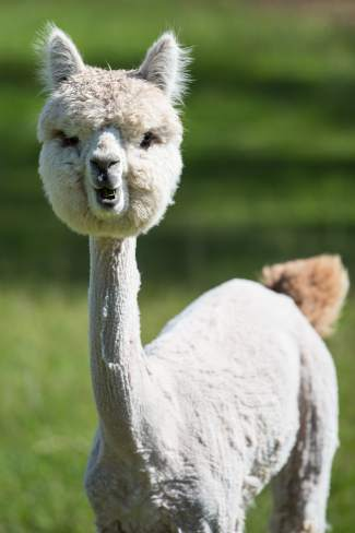Big Hat's Soliloquy, a freshly shorn alpaca, looks inquisitively at the new visitors to Big Hat Ranch in Mccoy on May 20. Big Hat Ranch specializes in the raising of alpacas for their unparalleled quality fleece. While most commonly associated with the high Andes regions of South America, the oldest alpaca remains actually exist in fossil beds found in Nebraska.