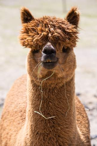 Apres Vous, an alpaca at Big Hat Ranch, isn't concerned with the appearance of a few stray pieces of dangling hay on a beautiful May day in Mccoy.