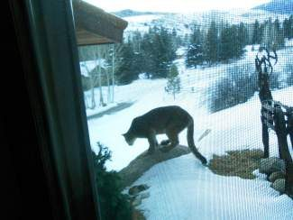 "Irene McConnaughy took this photo at Sunday morning in Lake Creek Meadows. ""The mountain lion had his nose up against the living room sliding glass door,"" she said."