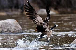 A goose takes flight out of the Eagle River in Avon on Saturday. Because the Front Range is looking to tap into western slope rivers as a water source, wildlife may be hugely impacted by the lack of water in the rivers.