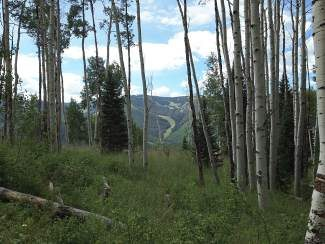 Riva Ridge run on Vail Mountain can be seen through the aspen in Spraddle Creek. A hike will be led in the Spraddle Creek area on Saturday.