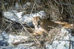 Sightings of mountain lions, such as this one seen recently in Edwards, are on the rise in Eagle County, according to Colorado Parks and Wildlife. However, attacks on humans are rare, and officials are reminding residents not to feed wildlife and to educate themselves about the animals.