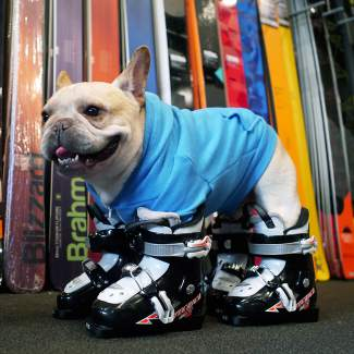 Murray the Frenchie is ready to hit the slopes.
