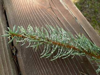 During heavy outbreaks of pine needle scale, the needles of infected trees look like they have been splattered with white paint.