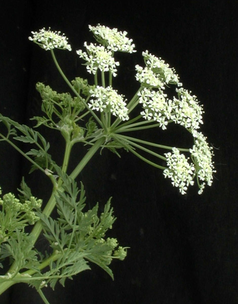 Vail valley weeds careful removing poison hemlock vaildaily vail valley weeds careful removing poison hemlock mightylinksfo