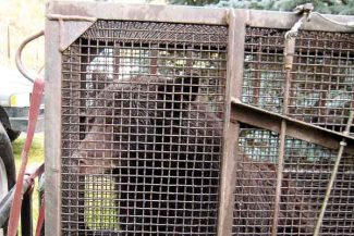 Sally Rebehn/Special to the Vail DailyThis mother bear was put down after it broken into a home in Vail on Sept. 18 and threatened residents. It was captured Friday in a trap set by the Division of Wildlife.
