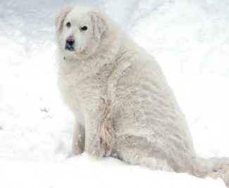 "Special to the Vail Daily""Bubba"" was killed by a mountain lion outside Tara Haymond's back door in Gypsum around 2 a.m. Sunday. The dog was about 150 pounds and ""abnormally large for a Great Pyrenees,"" Haymond said. Haymond also has a large, orange-and-white barn cat that went missing a few days ago."