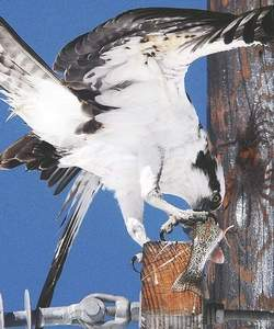 Mark Fox Summit Daily fileAn osprey uses its talons to help secure its food as it tears away at a fresh rainbow trout while perched on a utility pole near its nest north of Silverthorne.