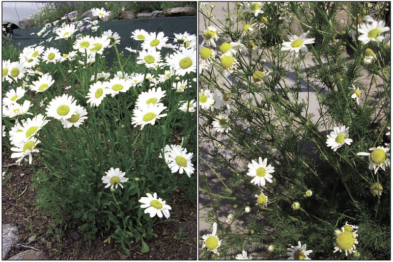 Vail Weed Of The Week Chamomile Oxeye Daisy Vaildaily Com