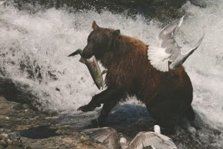 Special to the DailyAlaska designated the McNeil River area as a wildlife sanctuary in 1967 to protect the wild brown bears. The sanctuary protects about 200 square miles of habitat and is located about 250 air miles southwest of Anchorage.