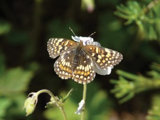 A Sagebrush Checkerspot is busily at work on a local columbine. Photo by Kristen Belschner/Special to the Daily
