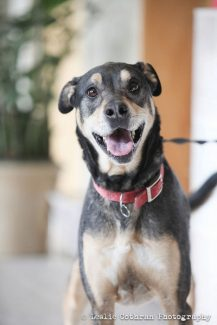 Buck is looking for a home for the holidays! This good-natured shepherd mix is great with other dogs and comes when called. Looking for a hiking buddy or calm inside companion? Give Buck a chance! Call the Eagle Valley Humane Society if interested at 970-280-5738.