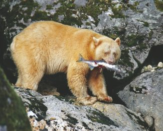 """Special to the Daily""""The Spirit Bear,"""" by Roxanne Granzow."""