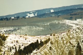 """James Foley spotted this eagle on the Eagle River perched in a tree right at the base of Cordillera. """"He flew off before I could get in position to set up a good shot, but I did get him in flight,"""" Foley said. """"I've lived in the valley my entire life and have always wanted a shot of a native eagle. This is as close as I've ever come to a good shot."""""""