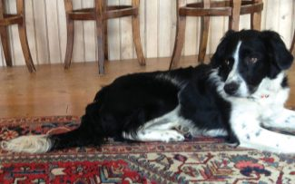 2-year-old Lucky, a black and white border collie with shaggy ears and a skinny physique, has been missing from Edwards since 7 p.m. on Sunday. If you have any information, please call the Brenner home at 970 926 3888.