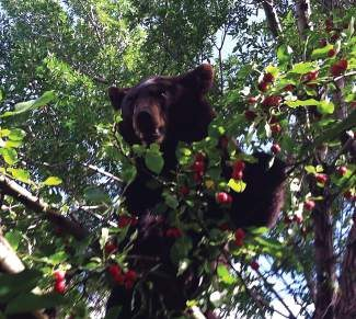 A bear eats crab apples out of a tree in Avon last summer in front of Domino's Pizza. Last year local authorities saw a record number of bear calls, but this year bear incidents have decreased drastically. Experts attribute the change to plentiful natural food sources this year.