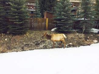 """East Vail """"Ellie Elk"""" finds a way to travel across road in order to birth her calf."""
