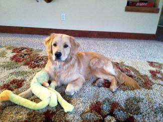 We are mourning the loss of our sweet Golden Retriever, Hudson. He was killed in a hit and run car accident on June Creek Road, right at the trailhead, on Jan. 16 around 6:30 p.m. A dark Lexus SUV was the culprit. To Hudson: You brought great joy to everyone that met you and in your short life made a big difference in my life forever. You were the sweetest thing.  Rest in peace.