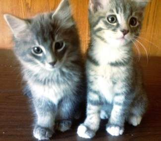 Two single gray adorable male kittens looking for love. We can be reached at our foster home for Eagle Valley Humane Society. We are very affectionate, friendly and healthy. Call Bonnie at 970-376-4431 or Jack at 970-471-0157 for more information.