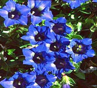 Spring flowers are in bloom ar the Betty Ford Alpine Garden. The colors of the spring gentian, ice plants and alpine plants are so vivid and incredibly beautiful. Betty Ford Alpine Gardens is open — take  the in town shuttle to Golden Peak and walk through Manor Vail.