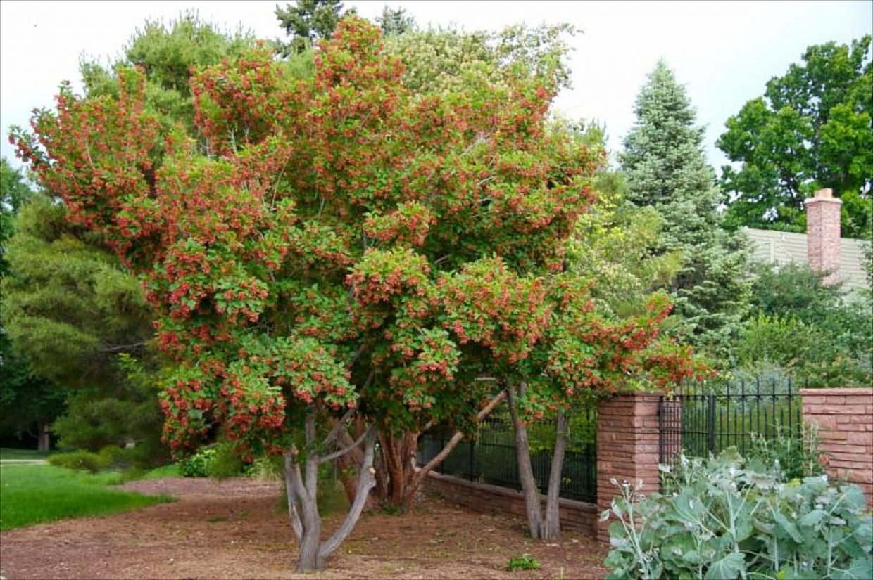 Vail landscape logic column six hardy trees for small for Trees for small places