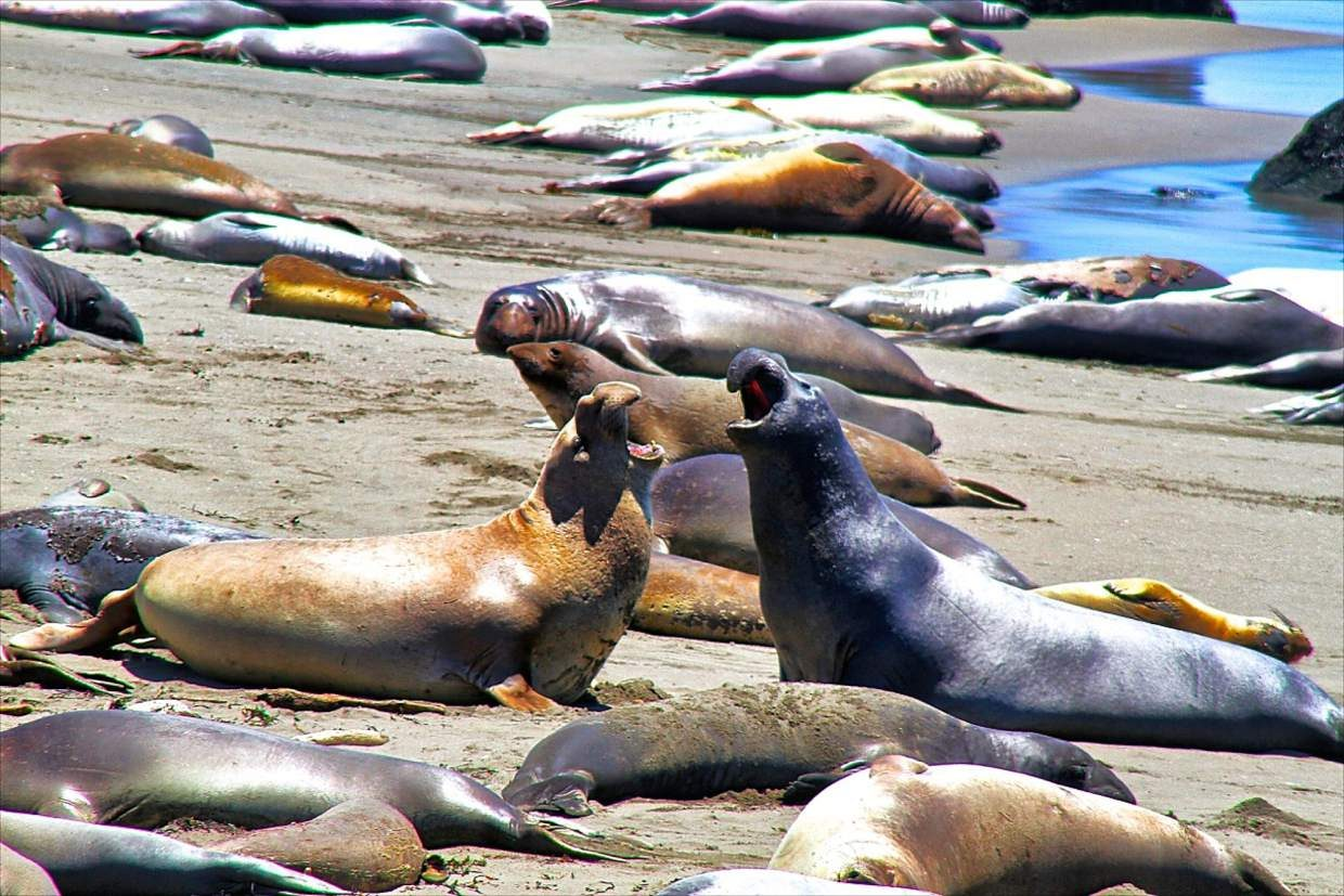 Some of California's most iconic species, such as the elephant seal, were nearly driven to extinction, and author David Helvarg is quick to point out that any recovery remains precarious with the current growing climate and population concerns.