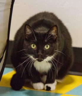 Lap Kitty to Keep You Warm Looking for a buddy to snuggle with you this winter? Sweet Miley is patiently waiting for you at the Eagle Valley Humane Society by Pazzo's in Eagle. Call or text Marie any time to coordinate a time to meet her: 970-331-1983.