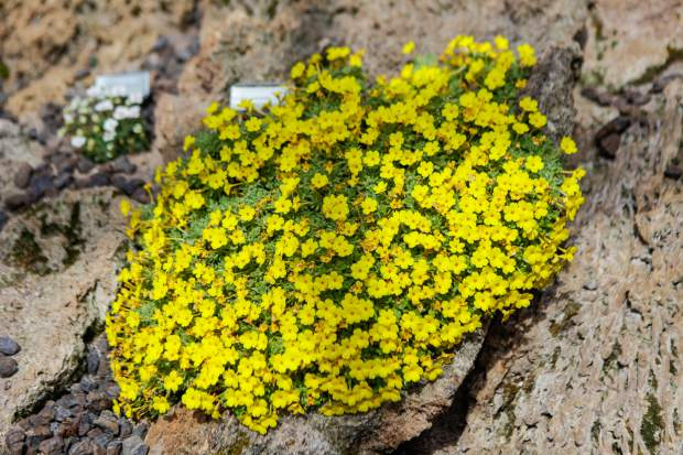 Dionysia aretioides, of the family Primulaceae, is native to the mountains of Iran and Afghanistan and is one of more difficult plants to grow because of its specific growing requirements.