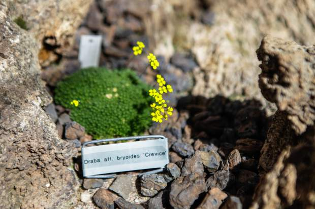 The Draba aff. bryoides, or crevice pygmy, is the largest genus of flowering plants in the cabbage family Brassicaceae.