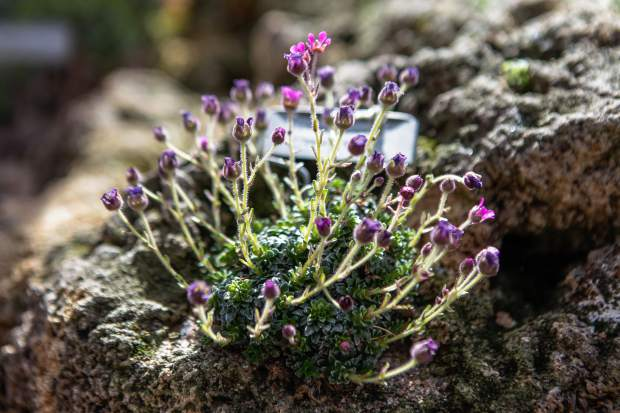 Saxifraga korund is one of largest genus of plant species in the world and a quintessential alpine plant.