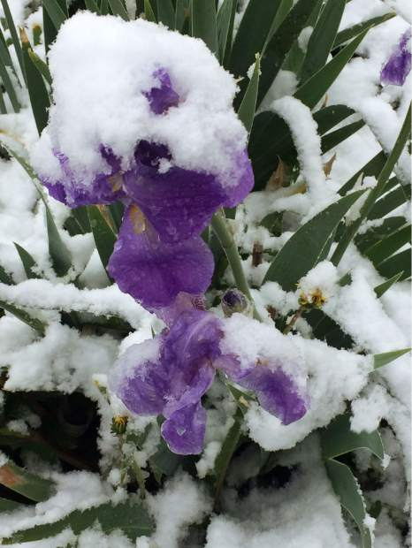 Snow falls on a flower already in bloom.
