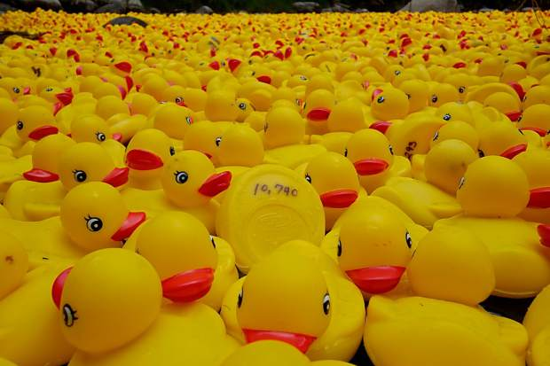 Over 12,000 numbered rubber ducks will race down Gore Creek during the annual Rotary Club Duck Race in Vail on Sunday, Sept. 3. Ducks are