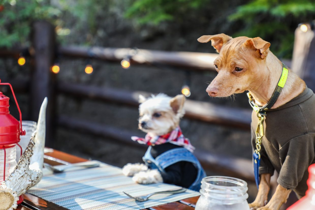Tuna and Ella Bean wait for their food while posing for photos Tuesday in Bachelor Gulch. The dogs are