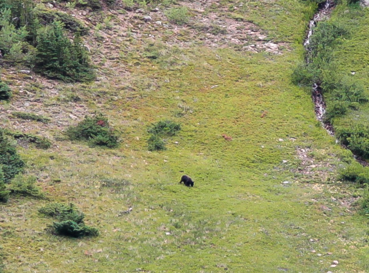 A bear lumbers around the Pitkin Creek Trail Aug. 9 in East Vail. Bears are stocking up for winter so hikers are reminded to be bear aware.