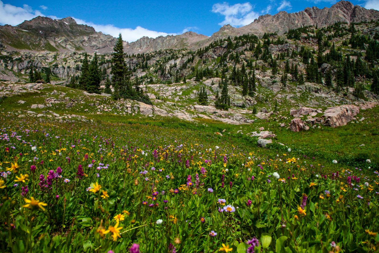 Wildflowers were still in full bloom Aug. 9 up Pitkin Creek Trail in East Vail.