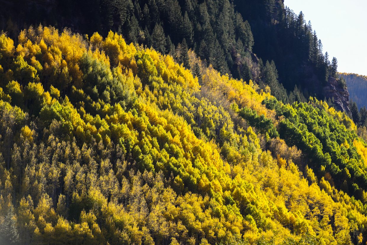 Gold and green dominate an aspen grove in Vail this week.