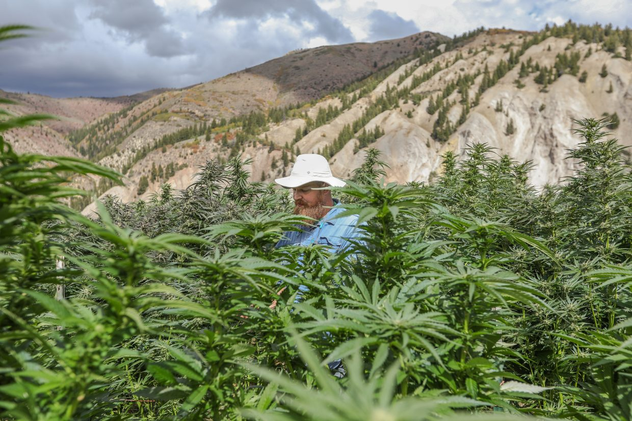 Joey Hoover trims leaves off marijuana plants at the Pot Zero outdoor grow field Friday, Sept. 22, outside Gypsum.