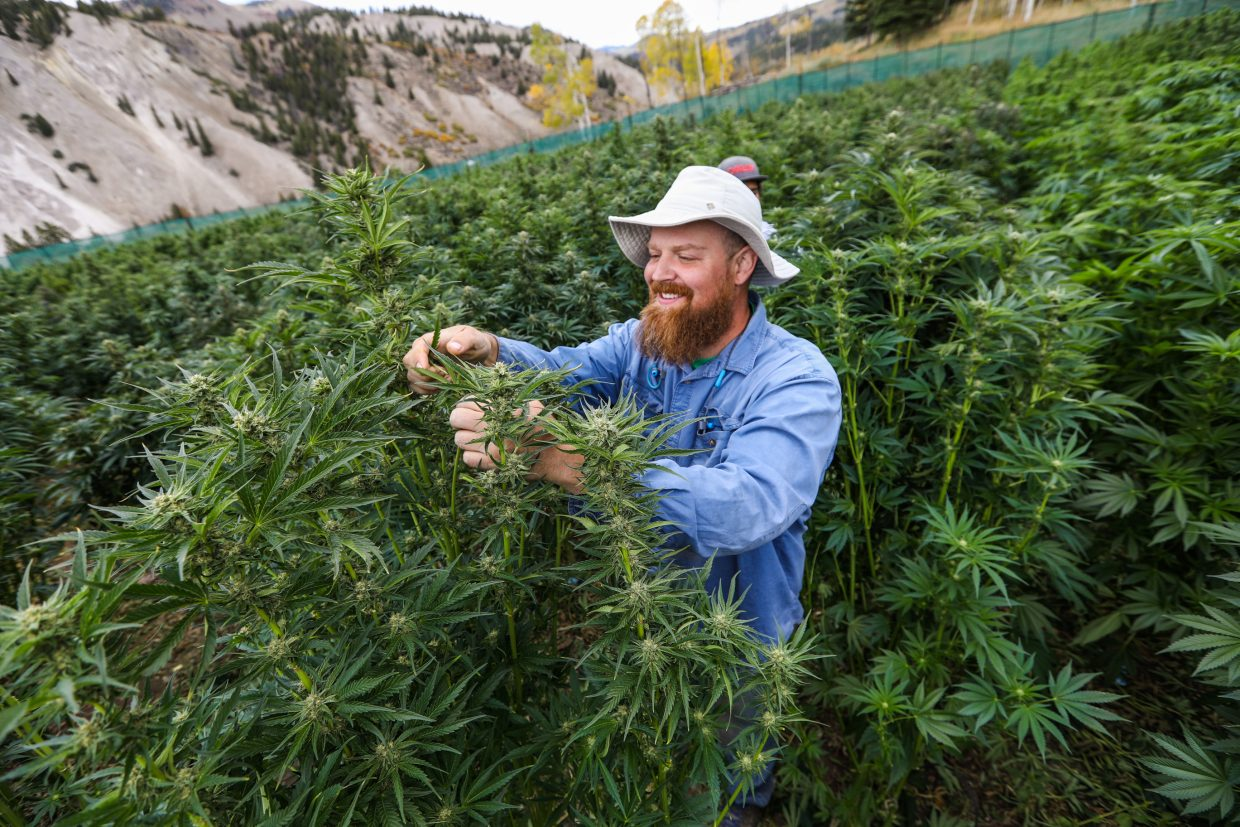 Joey Hoover trims leaves off marijuana plants at the Pot Zero outdoor grow field Friday, Sept. 22, outside Gypsum. Hoover is removing the larger leaves in preparation for removing the flowering bud.